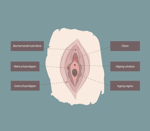 Uitleg anatomie van de vagina ten behoeve van een labiacorrectie